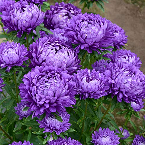 Aerlan Frühling Blumen mehrjährig winterhart,Aster Blumensamen Doppelblütenblatt Chrysantheme Mischfarbe Landschaft Blume Meer-Lila_1kg,Samen fü Blumen
