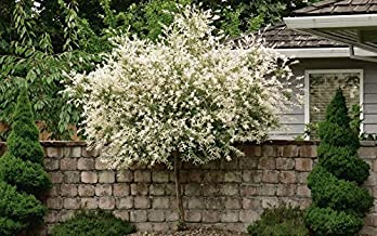 Best japanese willow tree Reviews