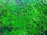 Najas Guppy Grass - Najas Guadalupensis Live Aquarium Freshwater Plants