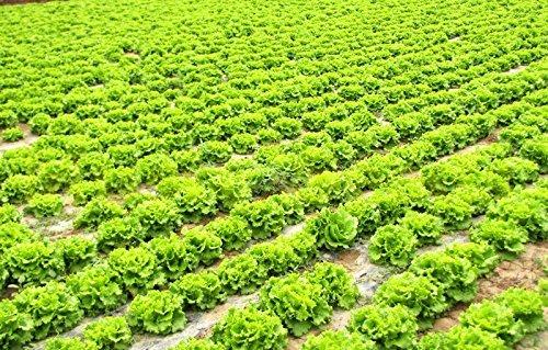 1bag = 80pcs vente chaude laitue graines CHINOIS NO-OGM graines mini légumes avec salade délicieuse bonsaï maison jardin