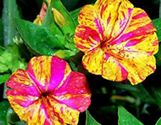 Four O'clock, Marvel Of Peru Four O'clock Flower seeds, Organic, 25 seed per package, Gorgeous addition to any garden.