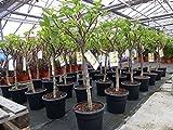 kompakter Feigenbaum 140 cm Obstbaum, winterhart, Ficus Carica, Feige