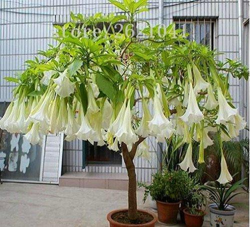 Datura graines de fleurs tropicales graines des plantes aromatiques anges fleur blanche trompette graines de bonsaï d'intérieur pour la maison jardin-50seeds / sac 1