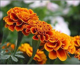 Keptei Gartensamen – Tagetes Erecta Samen, Orange, kleine Ringelblume, Samen, 1, 30