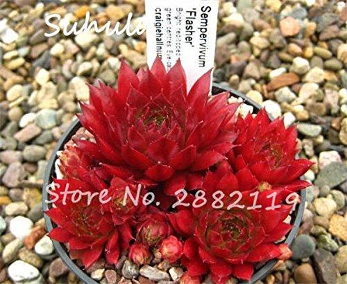 Pas cher 150 Pcs Mini Garden Succulentes Cactus Graines Variées Plantes vivaces Sempervivum Incroyable Maison Poireaux facile Live Forever Cultivez 17