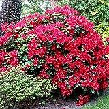 1 Rhododendron 'Scarlet Wonder' Evergreen Bushy Shrub Hardy Garden Plant in Pot