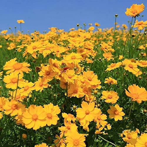 Leftroad Blumensamen für Bienen,Aussaat von Coreopsis-Samen im Frühjahr und Sommer für die Gartendekoration - 500 g,mehrjährig winterhart Samen
