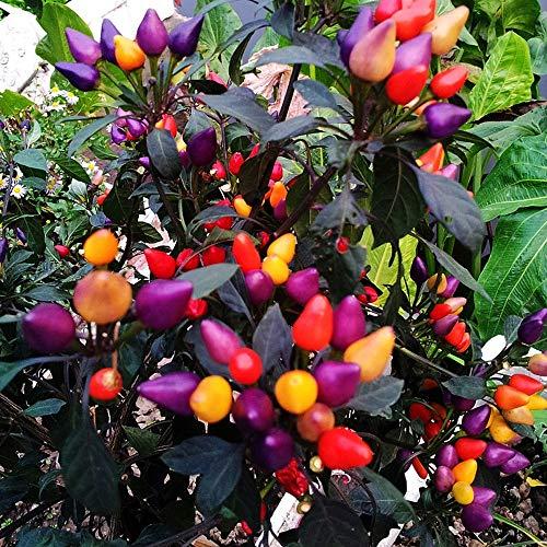 DDU 100pcs Graines de Rainbow Poivre-Légumes quatre saisons semant la vie en plein air,Facile à récolter