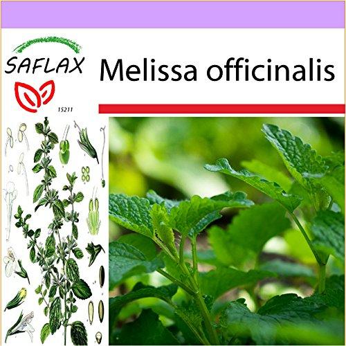 SAFLAX - Mélisse officinale - 150 graines - Melissa officinalis