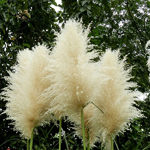 Nouveau Rare Impressionnant Graine Blanc Pampas Herbe Patio Jardin en pot plantes ornementales nouvelles fleurs Cortaderia Semences à gazon 500 PCS