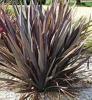 Phormium Tenax Atropurpureum Purple New Zealand Flax jocad (10 Seeds)