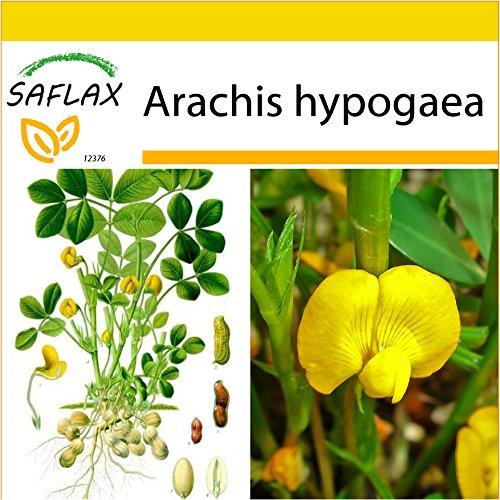 SAFLAX - Anzucht Set - Erdnuß - 8 Samen - Mit Mini-Gewächshaus, Anzuchtsubstrat und 2 Töpfen - Arachis hypogaea