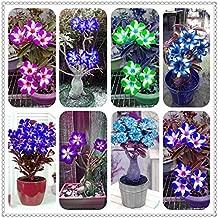 Seed - NOT Plant - Best Quality - Bonsai - pcs/Bag Blue Desert Rose Flower adenium obesum Bonsai Flower Double Petals Potted Plant for Home Garden 100% True - by SeedWorld - 1 PCs