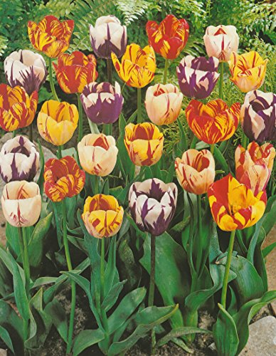 50 Gemischte Rembrandt Tulpen Blumenzwiebeln