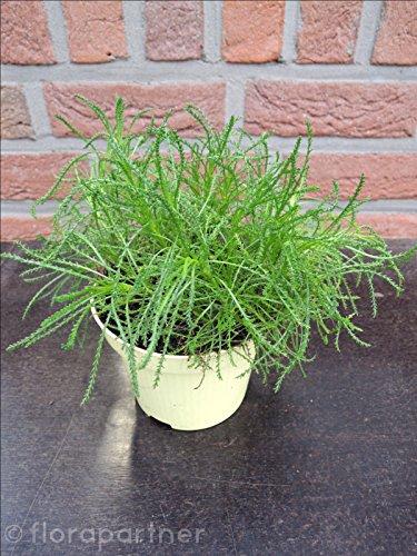 Olivenkraut Santolina virdis 1stk. Kräuterpflanze