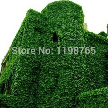 ! 200pcs BOSTON Ivy Seeds 100% Creeper japanese Graines d'origine Green Grass Seed Anti-rayonnement rayons ultraviolets