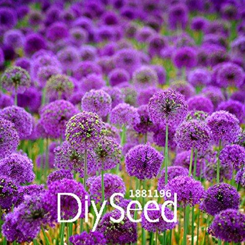 Vente! 300 PCS graines pourpres d'oignon, cour de maison de plantation, les plantes en pot, les fournitures de jardin, # MWGZT5