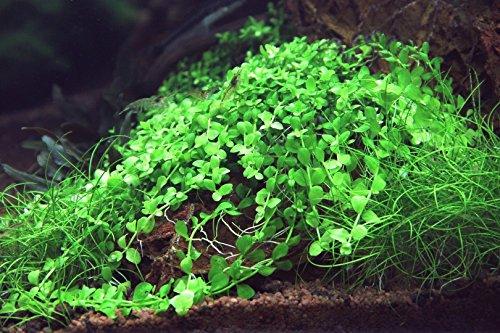 In-Vitro Mini-Glossostigma - Wasserpfeffer/Micranthemum 'Monte Carlo'