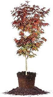 Best bloodgood japanese maple tree Reviews