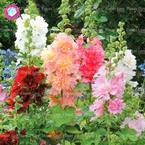 100pcs Double trémière Graines (Alcea rosea « Nigra ») Belle Graines de fleurs vivaces Jardin Plante Accueil Embellir Décoration