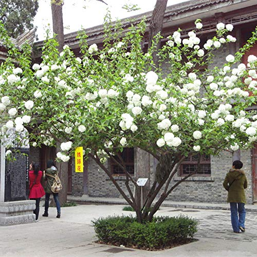Aerlan mehrjährig winterhart Samen,Hydrangea Flower Seeds Indoor purify air-20 Capsules_Mexico,Samen für Ihr Garten Balkon