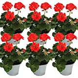 Geranien stehend - Pelargonium zonale - 12cm Topf - Set mit 6 Pflanzen - orange