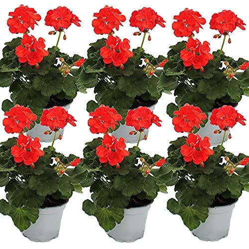 Geranios de pie – Pelargonium zonale – Maceta de 12 cm – Set de 6 plantas – Naranja