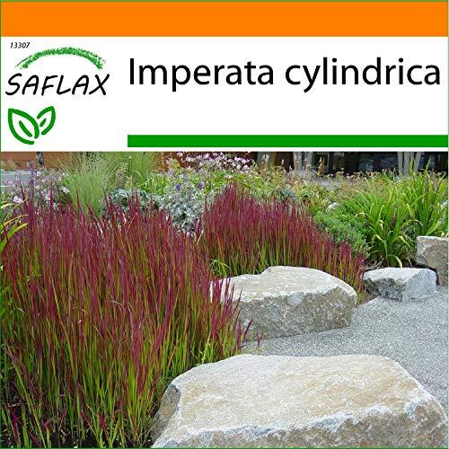 SAFLAX - Garden in the Bag - Gräser-Bambus-Japanisches Blutgras - 50 Samen - Mit Anzuchtsubstrat im praktischen, selbst aufstellenden Beutel - Imperata cylindrica