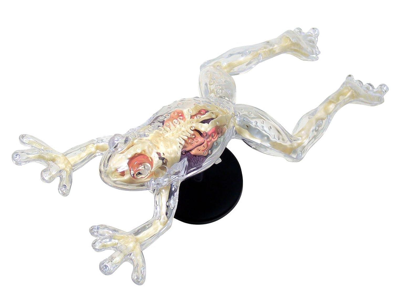 スカイネット 立体パズル 4D VISION 動物解剖 No.13 カエル解剖スケルトンモデル