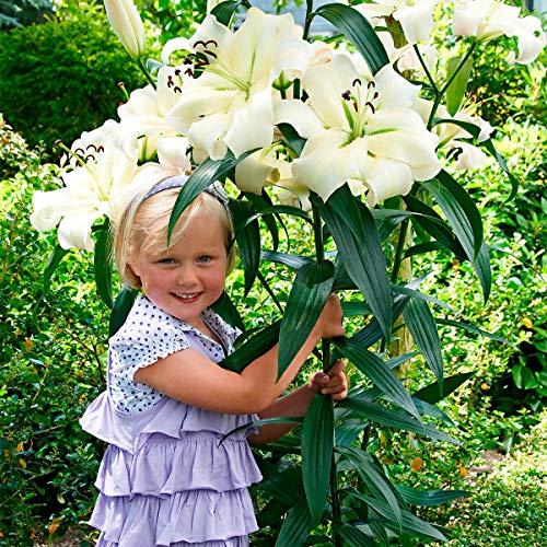 Soteer Garten - Duftend Tree-Lily Samen Riesen-Lilien Lilienblumen Baumlilien Lilium Hybride Lilien Saatgut mehrjährig winterhart für Garten Balkon/Terrasse