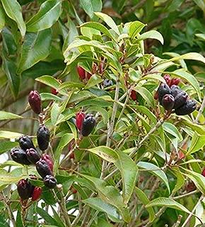 EaglesFord Live Clove Plant Syzygium aromaticum Plant Four Plants in Pot