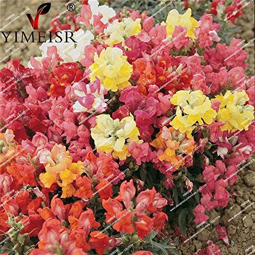 100pcs/sac nain Antirrhinum majus Color Mix Graines rares graines de fleurs vivaces plante balcon intérieur douches de bonbons snap