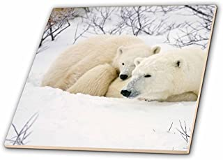 3dRose ct_207196_3 Polar Bears Female & Cub, Churchill Wildlife Management Area, Mb Ceramic Tile, 8