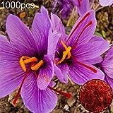 steellwingsf semi in vaso da interno ed esterno, 1000 pezzi di zafferano crocus seeds piante da giardino ornamentali bonsai da giardino zafferano semi di croco