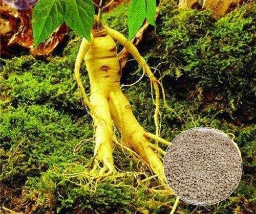 Portal Cool Chinese Ginseng Samen Ashwaganda 6 Samen Erbstück Kräuter Frische Samen Pflanzen