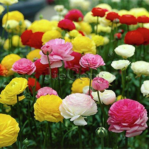 100 freesias graines, magnifique jardin bricolage coloré et parfumé fleur plante fleur coupée, maison, jardin, balcon décoration