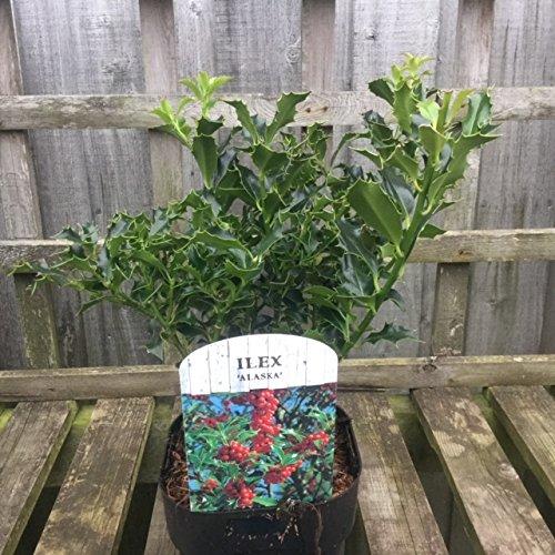 Holly bush 'Alaska'