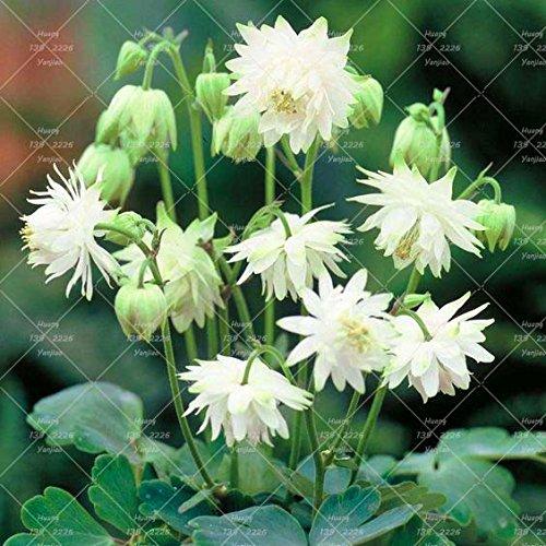 100PCS Double Aquilegia (Columbine) Graines rares Bonsai Graines de fleurs à long Bloom saison plantes vivaces pour jardin 13