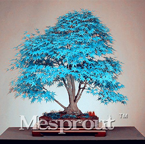 Graines 50PCS Chine Maple Tree Bonsai Tree. Rare Seed Blue Sky Maple. Plantes Balcon