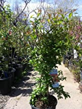 Eversweet Pomegranate Tree--Shipped through the Winter in Soil, Five Gallon Container