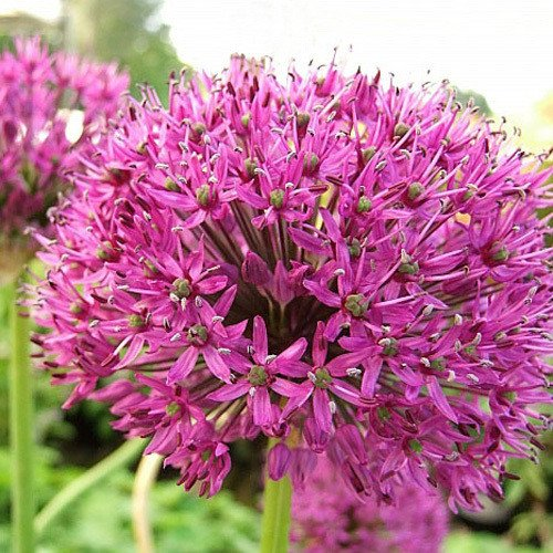 Plant World Seeds - Allium Hollandicum 'Purple Sensation' Seeds