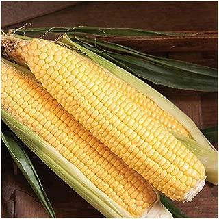 David's Garden Seeds Corn Super Sweet SL3778 (Yellow) 100 Non-GMO, Hybrid Seeds