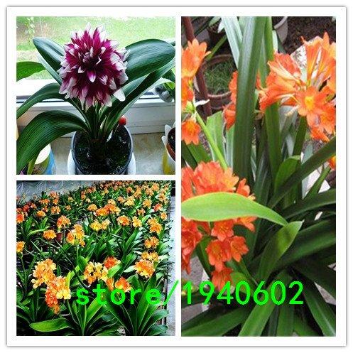 Sale! 500 Farben Clivia Samen Pflanzen Bonsai Samen 500seeds / pack Clivia Blumen-Samen
