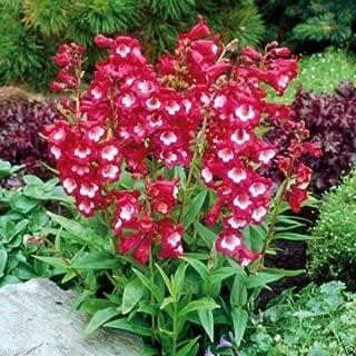 Penstemon hartwegii,Tubular Bells Red, 50 Seeds Perennial !