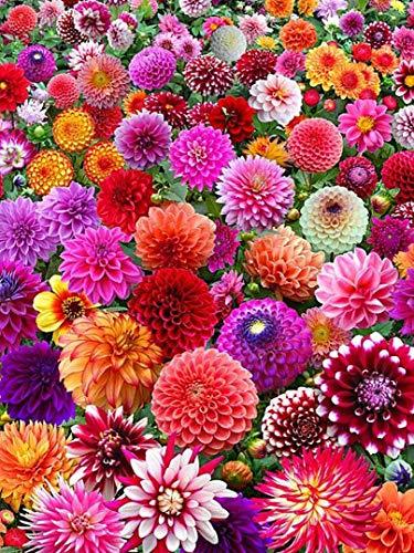 4x Dahlien 'Surprise mischung' - Blumenzwiebeln aus Holland - 100% Blühgarantie - Farbe: Mischung - Höhe 100-150 cm