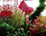 Tropica Aquarium Pflanze Nymphea Lotus Tigerlotus Wasserpflanzen...