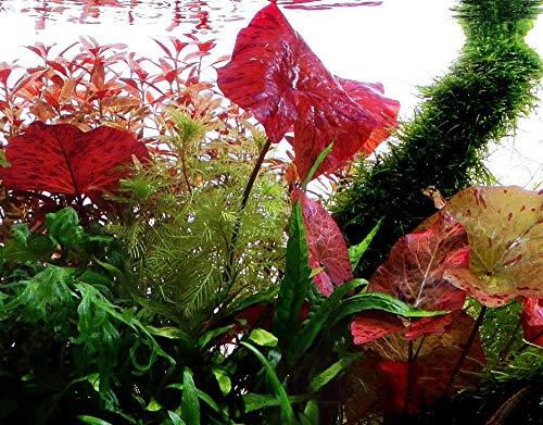 Tropica Aquarium Pflanze Nymphea Lotus Tigerlotus Wasserpflanzen Aquariumpflanzen Nr.019