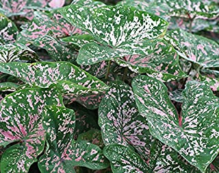 Caladium fancy leaf 'Florida Elise' ( 5 Bulbs) Rich red foliage with contrasting green borders