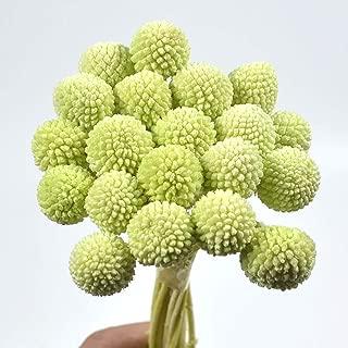 MLSG 20 Stems/Pcs Dried Natural Craspedia Flowers,Billy Button Balls,19.7
