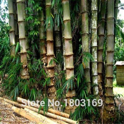 Livraison gratuite 200pcs frais Graines de bambou géant pour le jardin de la maison DIY Arbre ménages Graines